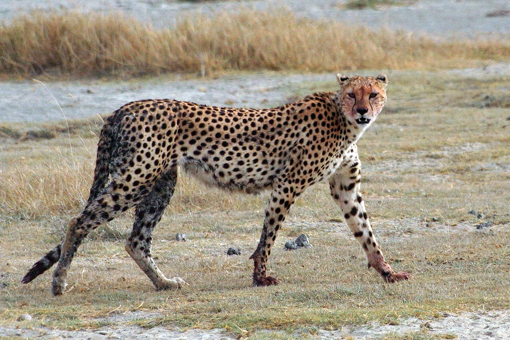 Rob Old_1024px-Acinonyx_jubatus_walking_edit